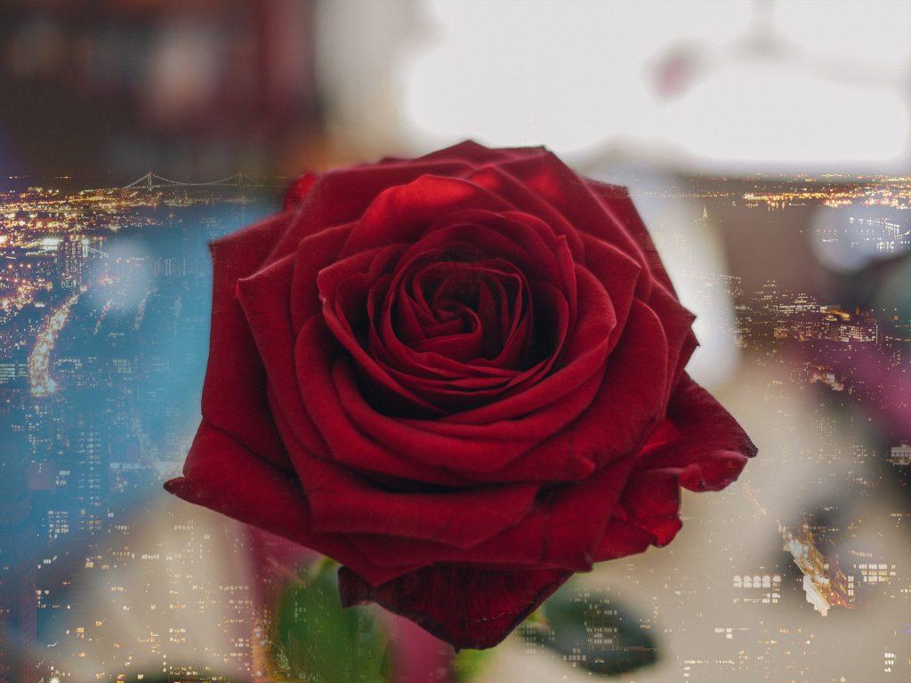 NYC-Rose